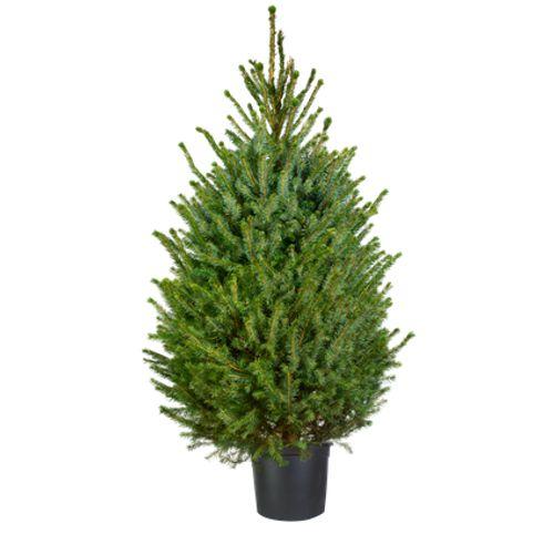 Central Park kerstboom Omorika 150-175cm