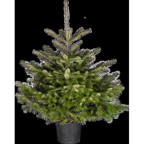 Kerstboom In Pot.Kerstboom Nordmann A Kwaliteit 80 100cm In Pot